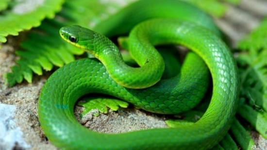 green_snake_2_91655800